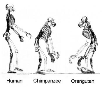 직립보행을 하는 인간, 너클보행을 하는 침팬지 그리고 4발로 걷는 오랑우탄의 그림. - 위키피디아 제공